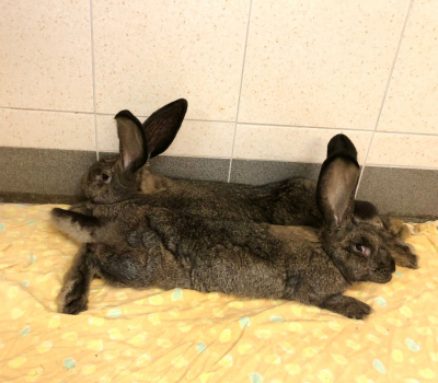 Amelie – EC Kaninchen